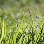 Gnojenje trave vzpodbuja rast in razraščanje